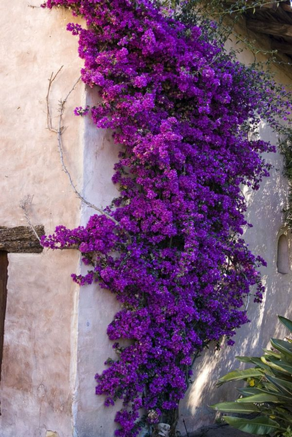 Bougainvillea violet-to-the-wall-climber