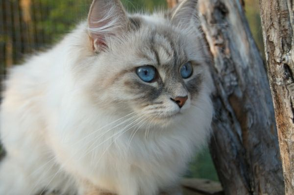 Siberian Cat-in-the-träden