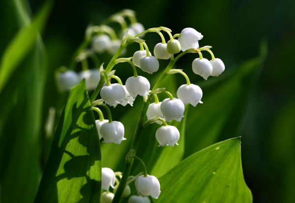 Lily_of_the_valley_wunderschöne-blomster-for våren-vårblomster-i-hvitt
