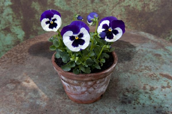 Pansy-the-first-act-design molto semplice