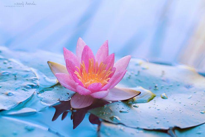 Afbeeldingsresultaat voor bloemen lotus