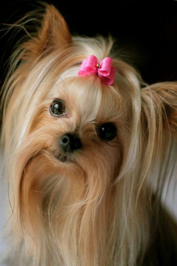 dulce-rase Yorkshire Terrier Pink Ribbon flirtatious