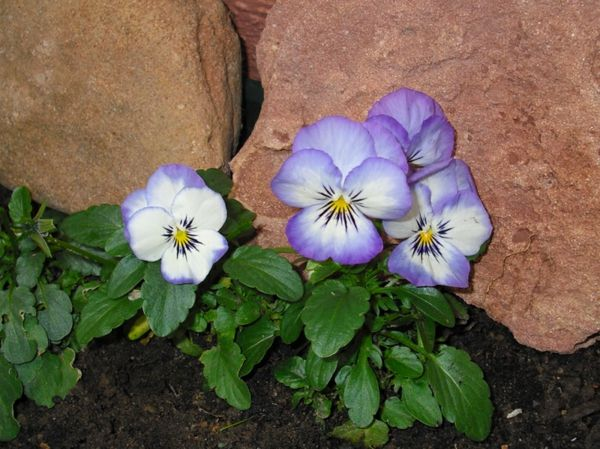 Pansy-impianto-by-the-rocks